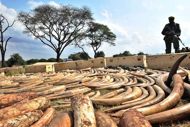 Illegal Ivory seized in Kenya, 2010